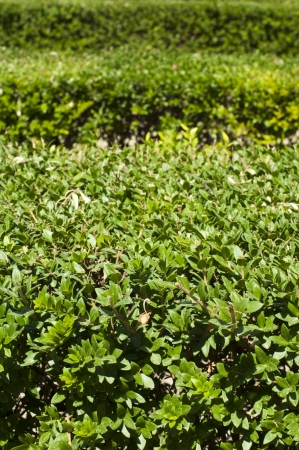 Green background of garden shrubs. photo