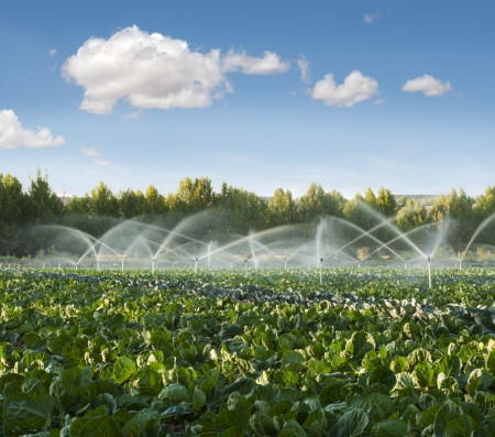 sprinklers: Irrigation systems in a green vegetable garden Stock Photo