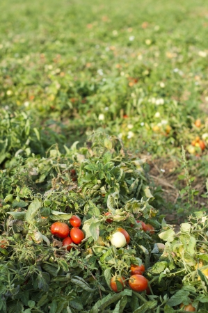 Tomato plantation and tomatoes for canning. photo