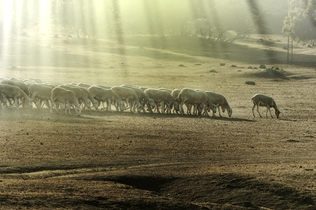 Herd sheep in the forest.Pastel colors photo