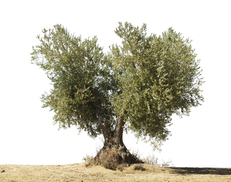 Olive tree white isolated. Stock Photo - 15818330