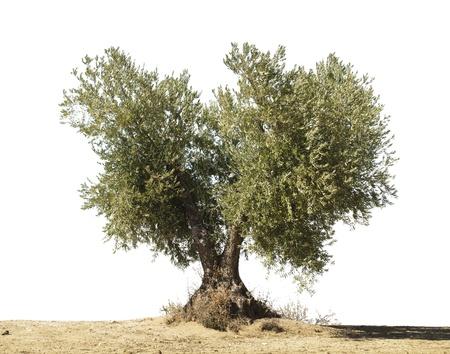 olivo arbol: Olivo blanco aislado.