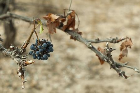 Poor harvest vineyards photo