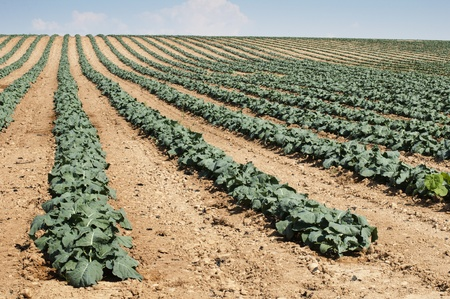 Cabbage plantation. Cabbage arranged in rows, clean soil. photo