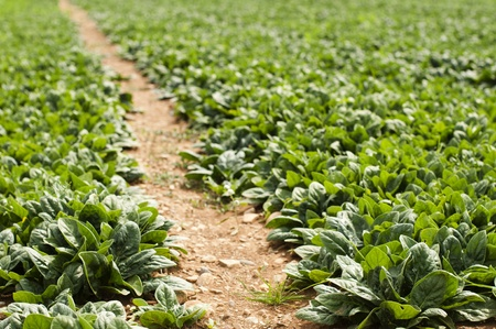 Spinach plantation. Spinach in a rows. Stock Photo - 15818335