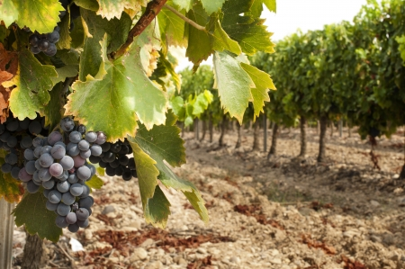 Vineyards in rows and cluster grapes