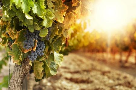 vid: Viñedos en la puesta del sol en la cosecha de otoño. Uvas uvas maduras en fall.Cluster a la izquierda