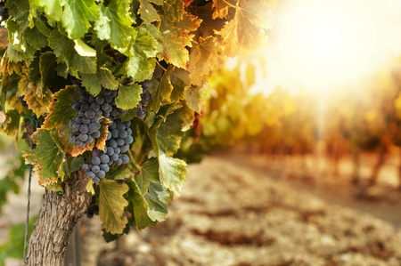 grapes on vine: Vineyards at sunset in autumn harvest. Ripe grapes in fall.Cluster grapes on left