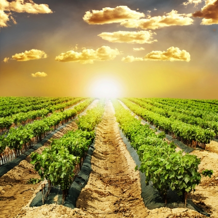 Young Vineyards in rows. Seedlings vines.Graft of the vines. Stock Photo