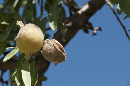 almond tree: Almonds on branch. Blue sky background