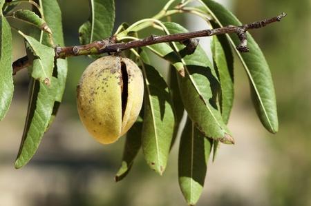 almond tree: Almonds on branch. Close up Stock Photo