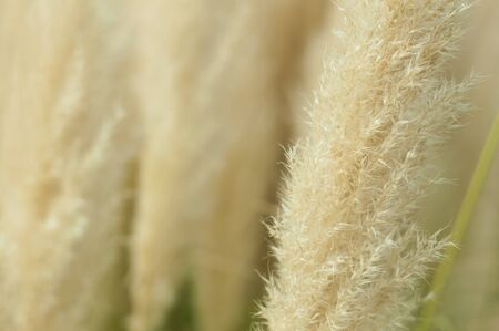 Crema color fluffy plants close up.Fluffy feathery plant photo