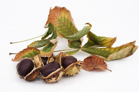 Chestnuts with shell white isolated photo