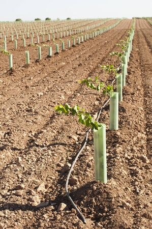 Newly planted vineyards in a row photo