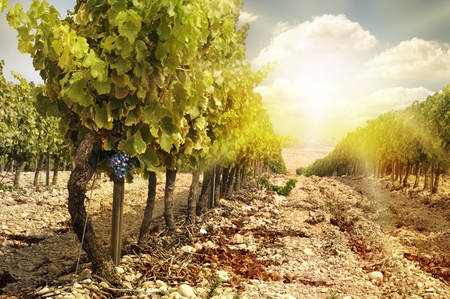 Vineyards at sunset in autumn harvest. Ripe grapes in fall.Cluster grapes on left