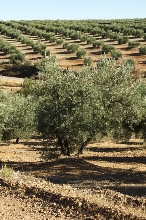 Olive trees in a row. Spanish red soil photo