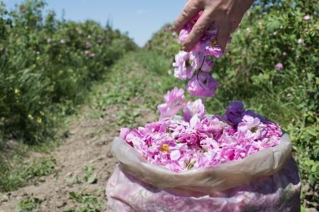 Plantagenkulturen Rosen. Roses in Parfümindustrie verwendet.