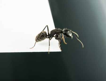 Black Ants white isolated studio shot photo