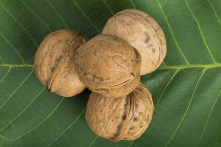 Ripe walnuts on leave. Studio shot photo