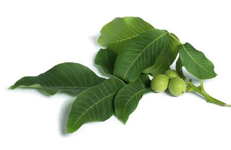 Green walnuts and leaves. Studio shot Standard-Bild