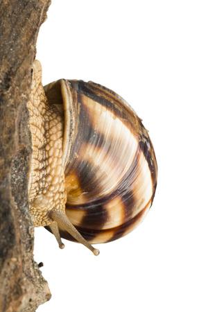 slime: White isolated snail. Studio shot