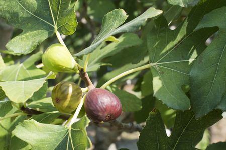 Fig on fig tree between the leaves