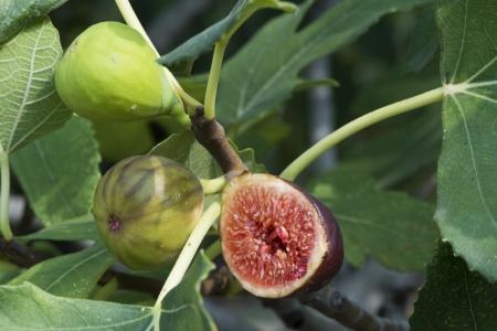 Rys na drzewie figowym między liśćmi