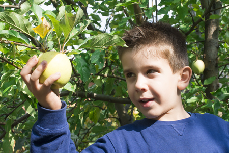 Child pick off green apple on a tree photo