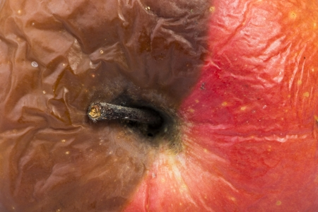 Rotten apple. Part brown and part red photo
