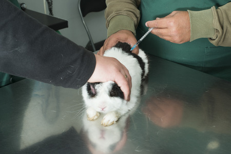 Rabbit in a veterinary office. Black and white rabbit photo