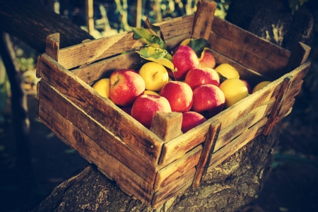 Apples in an old wooden crate on tree. Authentic image