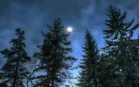 Pines at night in the woods photo