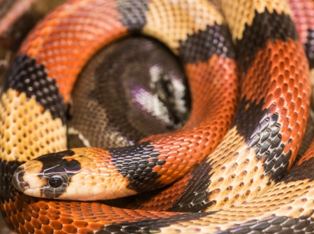 slither: Red milk snake screwed. Close up Stock Photo
