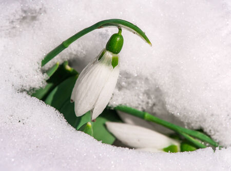 Snowdrop flower in a snow.  photo
