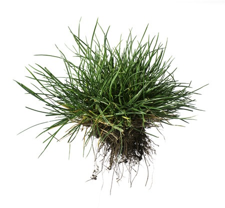 cut grass: White isolated turf grass and earth. Rhizome