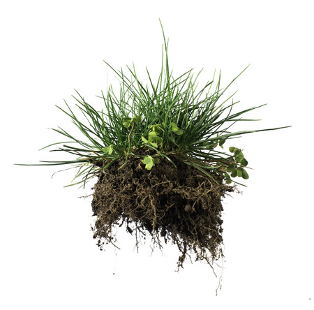 White isolated turf grass and earth. Rhizome