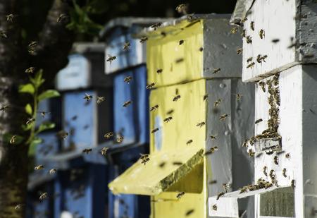 Zwerm bijen vliegen aan bijenkorf. Zon licht Stockfoto