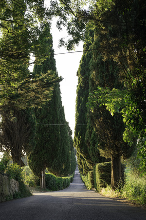 Cypress tree in Toscana, Italy. photo