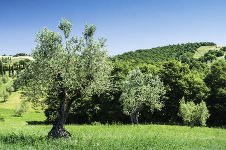 Olive trees in Italy, Tuscany photo