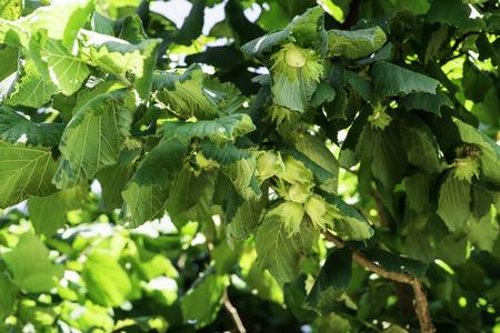 hazel tree: Hazel tree plantation. Branch with hazelnuts