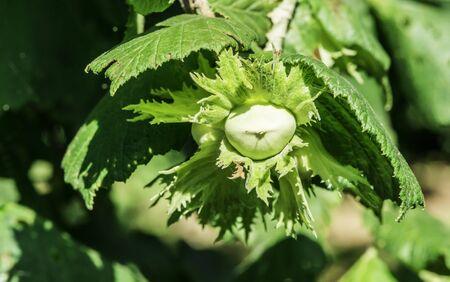 corylus: Hazel tree plantation. Branch with hazelnuts