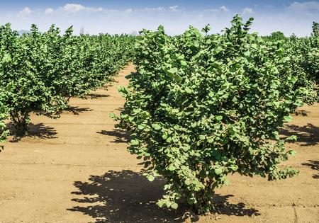 hazel tree: Hazel tree plantation. Summer time