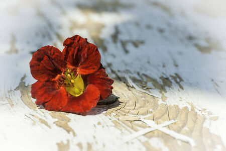 Red flower on wood. Sun light photo
