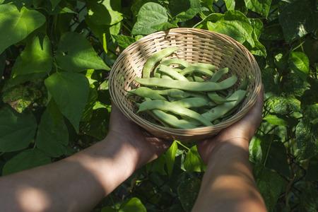 garden bean: String bean in a bowl. Green garden. Bulgaria