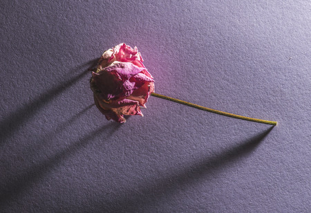 withered: Withered flower on violete background Stock Photo