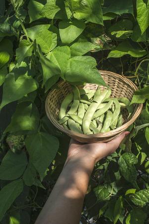 String bean in a bowl. Green garden. Bulgaria photo