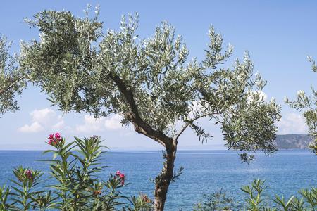 Olive tree on the beach. Blue sky. Greece