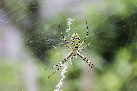 庭のクモ。緑と黄色のラインのクモ