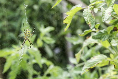 spider net: Spider in a garden. Grenn and yellow lines spider