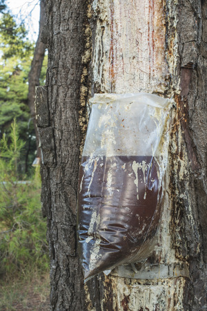 resin: Collect of resin on pine tree. Plastic bag Stock Photo